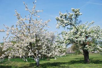 Owocowy sad - kwitnące jabłonie