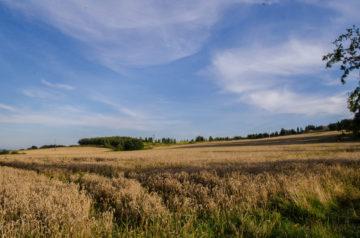 Otaczają nas złote pola.